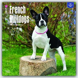 2017 french bulldog wall calendar